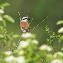 Ein Neuntöter auf einem Zweig. (Bild: Hans Aeschlimann)
