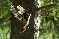 Dieser Buntspecht in Trogen bringt pausenlos Futter für die Jungen, die wohl bald ausfliegen werden. (Bild: Hans Aeschlimann)