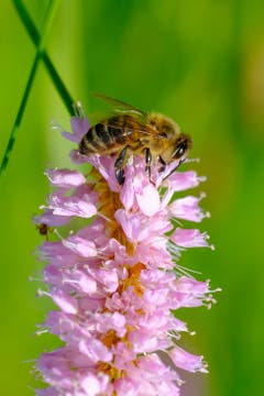 Fleissige Biene am Badweiher in Waldstatt. (Bild: Luciano Pau)