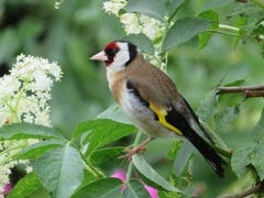 Ein Distelfink in den Holunderblüten (Bild: Arnold Zanoni)