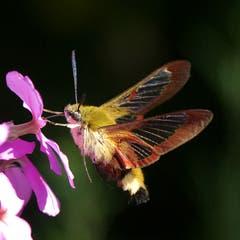 Ein Hummelschwärmer mit den durchsichtigen Flügeln in Trogen (Bild: Hans Aeschlimann)