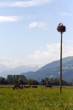 Idylle pur: Ein Storchenhorst in einer Pferdeweide im Saxer Riet. (Bild: Corinne Hanselmann)
