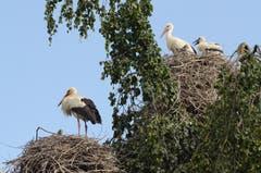 Es müssen nicht immer Masten bereitgestellt werden: Diese Storchenfamilien haben sich auf einem grossen Baum einquartiert. (Bild: Corinne Hanselmann)