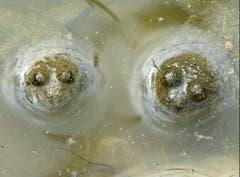 Im trüben Wasser zu baden ist nicht jedermanns Sache. Den beiden Gelbbauchunken gefällt es aber sehr. (Bild: Josef Lustenberger)