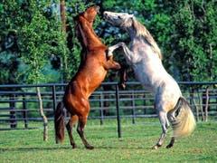Pferde auf einer Koppel. (Bild: Toni Sieber)
