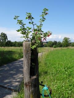 Johannisbeeren können überall wachsen und gedeihen. (Bild: Roland Gerster)