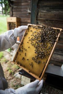 Bienen klammern sich an den Waben. (Bild: Sabrina Stübi)
