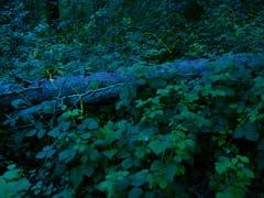 Sie sind wieder da! Hunderte von Glühkäfern fliegen bei Anbruch der Nacht durch den Wald und sorgen für wunderschöne Momente. Aufgenommen im Rheintal. (Bild: Matthias Kopp)