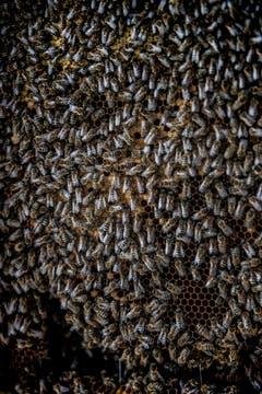 Ein Bienenvolk besteht aus bis zu 50'000 Arbeiterinnen. Sie leben in der Regel nur 40 bis 50 Tag. (Bild: Sabrina Stübi)