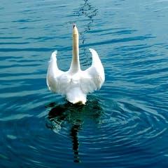 Schwan stellt seine Flügel - Drohgebärde oder Imponiergehabe? (Bild: Sepp Bernasconi)