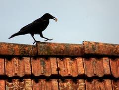 Leckerbissen auf dem Dach. (Bild: Doris Sieber)