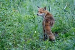 Ein kurzer Blick zurück und der Fuchs geht seines Weges in Jenins. (Bild: Edgar Huber)