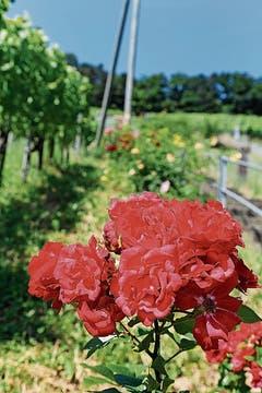 Auch die Rosen an der Buechberg-Treppe sind vor gefrässigen Rehen nicht sicher.