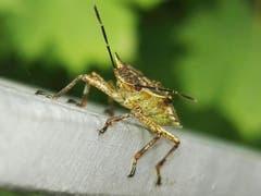 Käfer in Schräglage. (Bild: Benedikt Born)