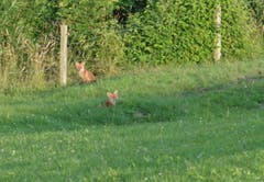 Hier ein erster Blick auf die jungen Füchse von Herisau.
