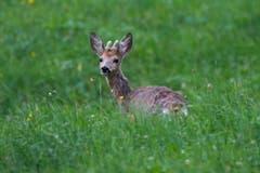 Rehbock-Bambi in Jenins (Bild: Edgar Huber)