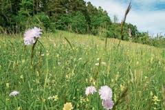 Aus den einst blühenden Magerwiesen auch an Bahnböschungen... (Bild: Reto Martin)
