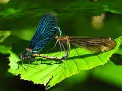 Gelenkige Akrobatik zwischen dem Blauflügel-Prachtlibellen-Männchen und dem unscheinbaren braunen Weibchen. (Bild: Martina Melber)