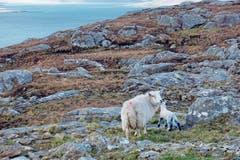 Fels, Moos, Heidekraut und Wasser: Das karge Land gehört den Schafen.