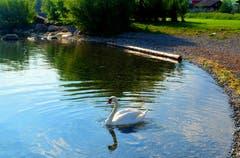 """Dieser Schwan hat die kleine Bucht am sogenannten """"Grünen Quai"""" in Buochs ganz allein für sich. Bild: Sepp Bernasconi"""