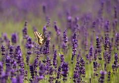 Schwalbenschwanz auf Lavendel. (Bild: Priska Ziswiler-Heller (Ettiswil, 23. Juni 2018))