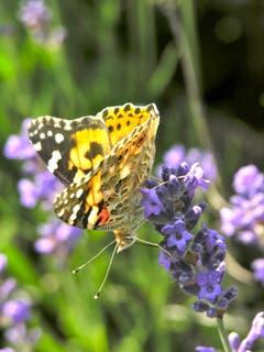 Jetzt habe ich Hunger nach Lavendel. Bild: Eduard Lienert