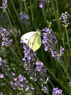 Auch der Zitronenfalter will Nektar vom Lavendel. Bild: Eduard Lienert