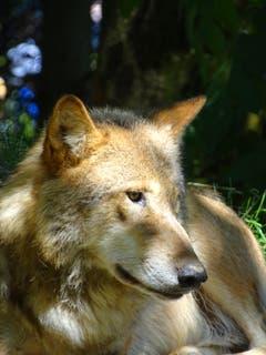 Ein Mongolischer Wolf - aufgenommen im Zoo Zürich. (Bild: Daniela Haas, 26.06.2018)