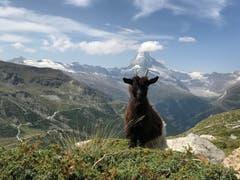 Die Ziege stand perfekt im Weg vor dem Matterhorn :) Bild: Stephanie Gygax.
