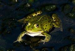 """""""Bitte nicht küssen""""! Frosch im Schlossweiher in Wittenbach (Bild: Walter Schmidt)"""