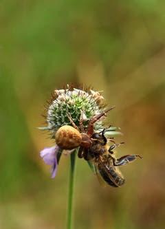 Die Spinne hat gesiegt in Amriswil (Bild: Baraba Weber)