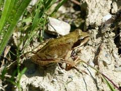 Ein schöner Frosch. (Bild: Josef Lustenberger (Wolhusen, 30. Juni 2018))