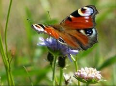 Der Edelfalter «Tagpfauenauge» wurde zum Schmetterling des Jahres 2009 gewählt. (Bild: Josef Lustenberger)