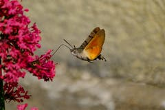 Taubenschwänzchen - der Kolibri, der ein Schmetterling ist. (Bild: Luciano Pau)