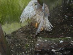 Ein Falke bei Flugversuchen im Auswilderungsgehege. In dieser Phase sind solche Übungen wichtig, damit die Freilassung dann auch gelingt. (Bild: Christian Müller - 3. Januar 2013)