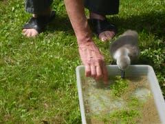 Ein kleiner Höckerschwan wird artgerecht gefüttert: Das verlassen aufgefundene Jungtier muss sich sein Futter selber aus dem Wasser fischen. (Bild: Voliere-Gesellschaft St.Gallen - 6. Juni 2011)