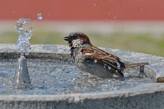 Der Spatz gönnt sich eine Erfrischung auf dem Sportplatz Ebnet in Herisau (Bild: Valentin Hitz)