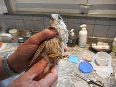 In der Wildvogelpflegestation werden zudem verletzte und kranke Tiere gepflegt und dann wieder ausgewildert. Im Bild ein ausgehungerter Turmfalke. (Bild: Christian Müller - 31. Juli 2013)