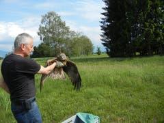 Christian Müller lässt einen gesund gepflegten Schwarzmilan im Gebiet, in dem er gefunden wurde, wieder frei. (Bild: Voliere-Gesellschaft St.Gallen - 3. Juni 2014)