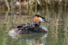Den jungen Haubentauchern macht es Spass, auf dem Rücken der Mama mitzuschwimmen. (Bild: Edgar HUber)