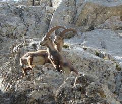 Steinböcke auf dem Pilatus. (Bild: Margrit Kunz)