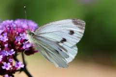Ein Schmetterling auf Futtersuche. (Bild: Xaver Husmann (Rain, 1. Juli 2018))