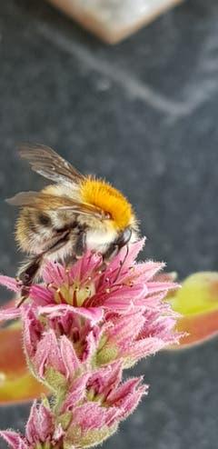 Biene beim Abendessen (Bild: Markus Bruderer)