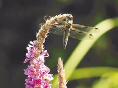 Falkenlibelle (Vierfleck-Libelle, Libellula quadrimaculata) auf Blutweiderich geniesst die Mittagssonne in Mörschwil. (Bild: Peter Heim)