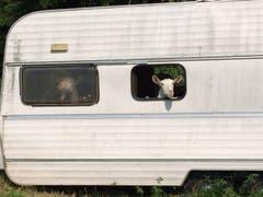 Auch diese Ziegen haben Ferienstimmung durch ihre Unterkunft (Bild: Maya Gander)