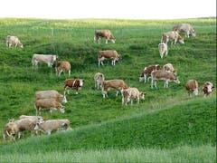 Friedlich weidet das Vieh am Abend auf der Weide. Ein beruhigendes wundervolles Gefühl! (Bild: Josef Lustenberger, Steinhuserberg)