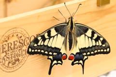 Bereits sind 7 von 12 Schmetterlinge aus ihren Puppen geschlüpft und konnten erfolgreich ausgewildert werden. (Bild: Xaver Husmann, Rain)