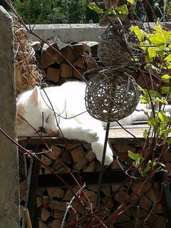Katze Coco geniesst die Sommersonne in Gossau. (Bild: Diana Bischof)