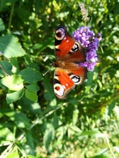 Tagpfauenauge im Garten in Gossau auf dem blühenden Sommerflieder. (Bild: Diana Bischof)