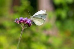 Ein Schmetterling verköstigt sich auf Blume. (Bild: Jörg Meier, Luzern)